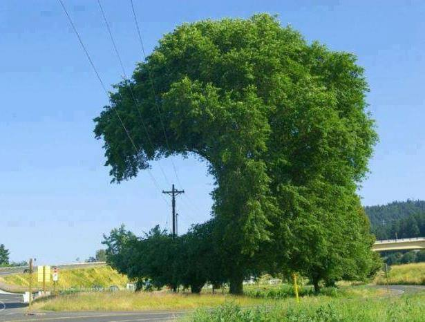 Copac si linii
