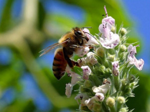 Declining Bee Numbers
