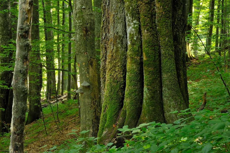 Padure virgina in Parcul National Domogled